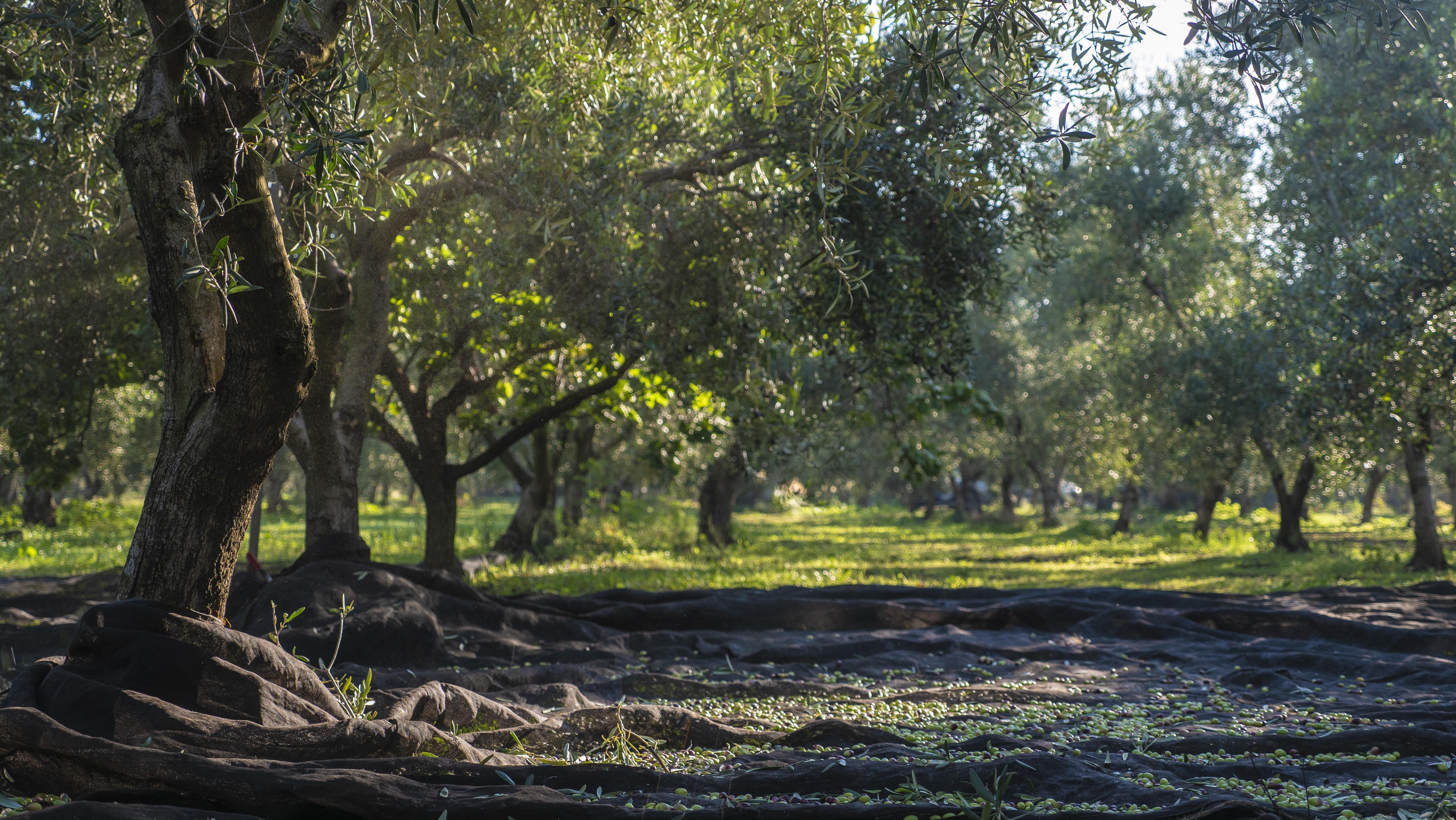 olio de palo olio extravergine di oliva agricoltura